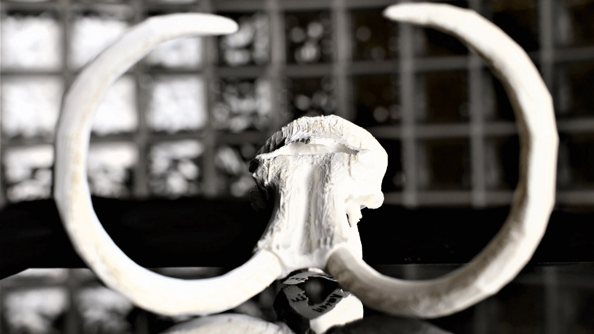 A 3D printing of the mammoth skull sits on a mirrored surface.